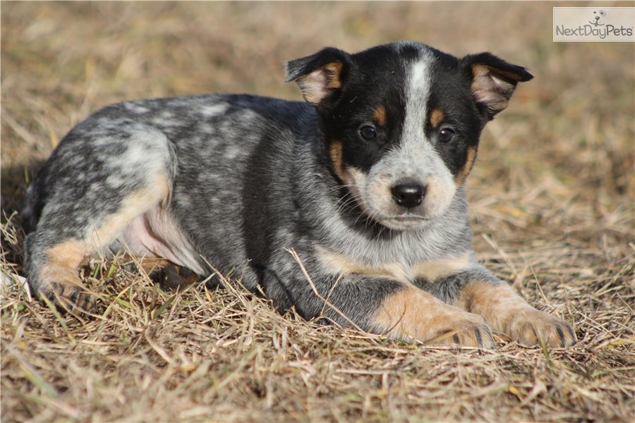 Blue heeler puppies for sale in texas blue heeler puppies