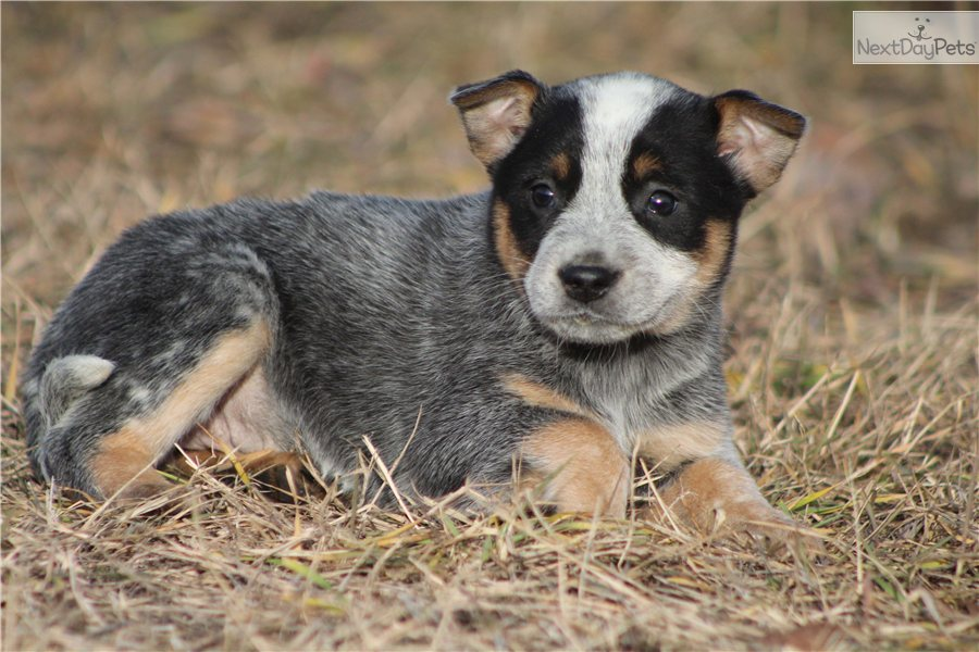 Blue heeler puppies for sale in texas blue heeler puppy picture