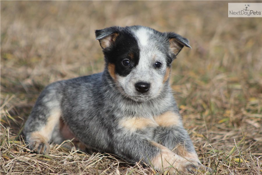 Australian cattle dog puppies
