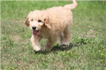 Welsh Terrier for sale