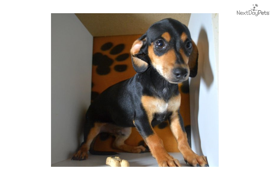 ... Springfield, Missouri   ad8a4fbd-8401 Black And Tan Chiweenie Puppies