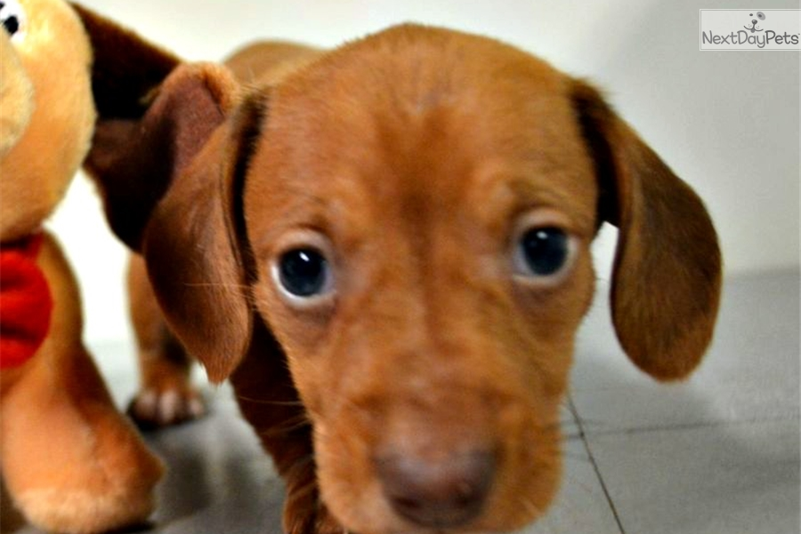 buying a puppy to . an older dog essay