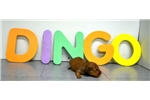 Picture of Dingo is looking for you