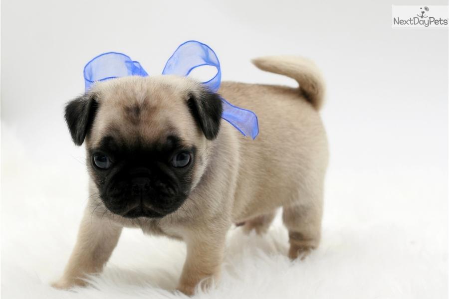 Pug Dog Breeders: Oklahoma | PuppySites.Com