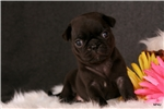 Picture of Cha-Cha @ Newpuppies4u.com