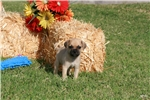 Picture of Finley @ Newpuppies4u.com