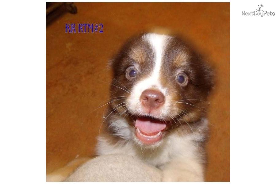 Meet Karra's Red Tri male #2 a cute Miniature Australian ...