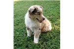 Picture of GCH sired Red Merle with striking blue eyes