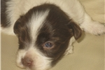 Picture of AKC Chocolate and white male, Ch Ln