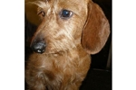 Featured Breeder of Wire Dachshunds with Puppies For Sale