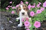 Picture of AKC Registered Tri-colored Male Beagle Puppy