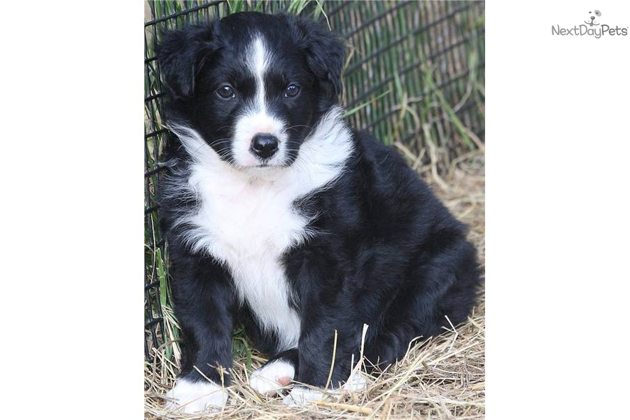 Black And White Sheepdog Puppies Pictures to pin on Pinterest