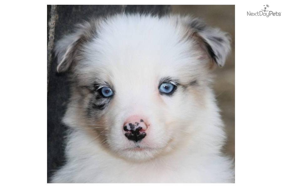 Meet Denim a cute Australian Shepherd puppy for sale for ...