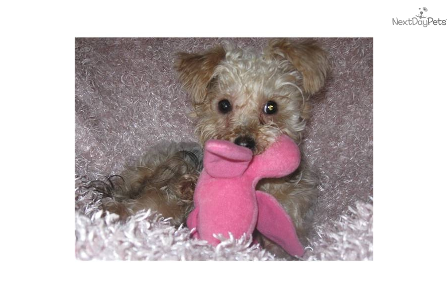 Teacup Dogs For Sale In Oregon