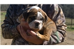 Picture of BEAUTIFUL AKC ENGLISH BULLDOG MALE COLE