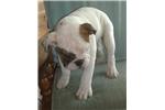 Picture of BEAUTIFUL AKC ENGLISH BULLDOG MALE PUPPY BREWSER