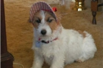 Featured Breeder of Jack Russell Terriers with Puppies For Sale