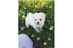 Picture of Tiny Maltese Male- Gorgeous Baby!!