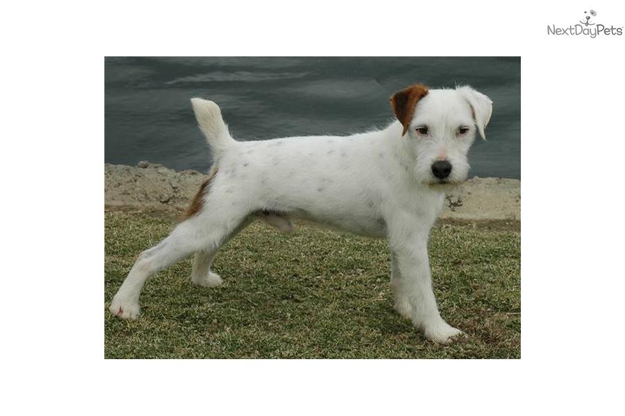 champion-sired-blackwhite-parson-russell-pupdog-parson-russell-terrier ... White Parson Russell Terrier