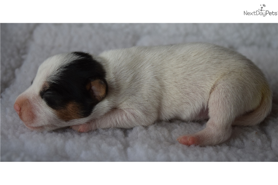 Inland Empire Tri Color Dogs And Puppies For Sale Ebay Classifieds ...