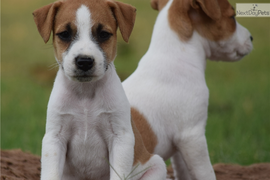 Parson Russell Terrier puppy for sale near Inland Empire, California ... White Parson Russell Terrier