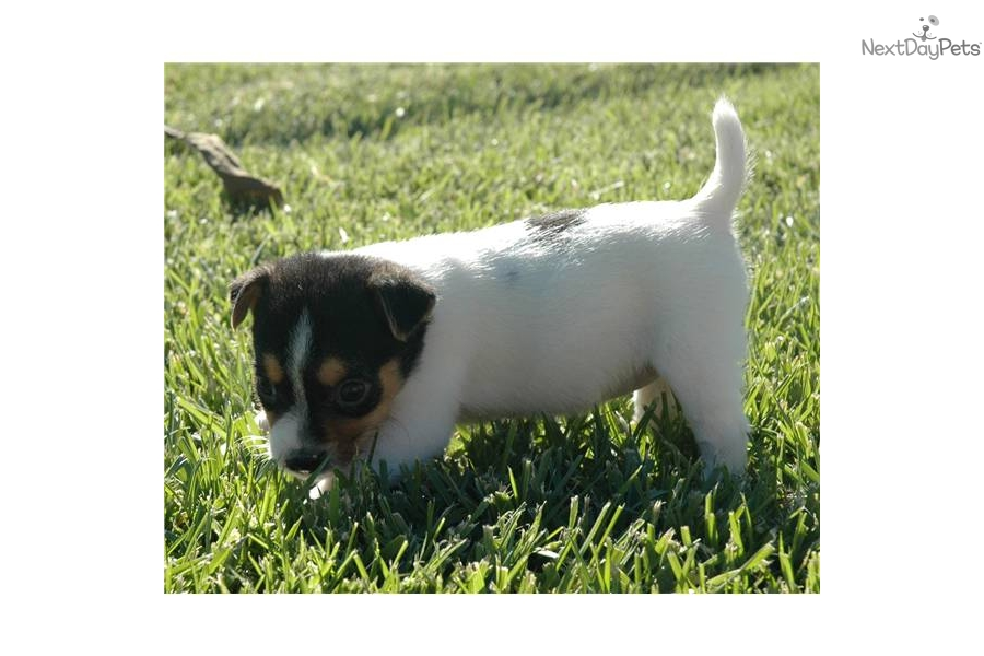 Jack Russell Terrier - Wikipedia