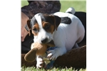Picture of Nat. & Int. Champion Sired Smooth Coat JRT Puppy!