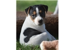 Parson Russell Terrier for sale