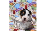 Picture of Champion Sired Jack Russell Male- Reserve Now!