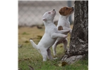 Picture of Champion Sired Jack Russell Female- Ready Now!