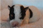 Picture of Champion Sired Jack Russell Male Puppy!