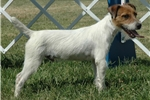 Picture of Top Quality Champion Sired Parson Russell Puppy!