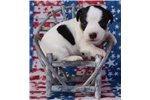 Picture of Champion Sired PRT Pup- Ready For Christmas!