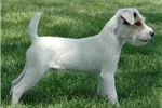 Picture of Champion Sired Parson Russell Male- Reserve Now!