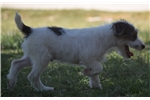 Picture of Champion Sired Parson Russell Male Pup- Ready Now!