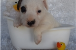 Picture of Quality Jack Russell Puppy- Both Parents Champs!