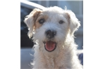 Picture of Champion Sired Parson Russell Terrier Girl