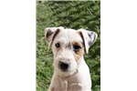 Picture of Champion Sired Parson Russell Male Puppy Available