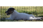 Picture of Champion Sired Parson Russell Female Puppy!