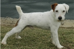 Picture of Quality Parson Russell Puppy- Both Parents Champs!