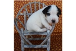 Picture of Quality Parson Russell Puppy- Champion Sired!