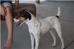 Picture of Champion Sired Parson Russell Female- Reserve Now!