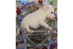 Picture of Quality Smooth Coat Parson Russell Terrier Female