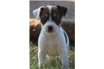 Picture of Champion Sired Parson Russell Terrier Boy!