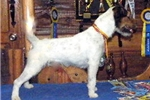 Picture of 4x International Champion Sired Parson Russell Pup