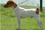 Picture of Champion Sired Female PRT Puppy- Ready 4 X-Mas!