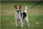 Picture of Quality Champion Sired PRT Female Puppy
