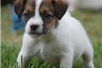 Picture of Import Sired Parson Russell Male- Reserve Now!