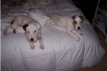 Picture of Champion Sired Parson Russell Terrier Puppy!