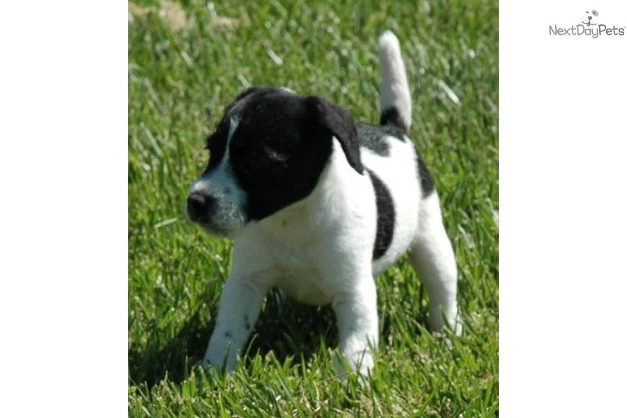 blackwhite-parson-russell--champion-parentsdog-parson-russell-terrier ... White Parson Russell Terrier
